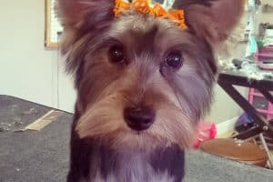 A Yorkie that has just been groomed with two little bows in her hair