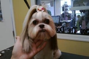 a white and tan shih tzu who has been freshly groomed
