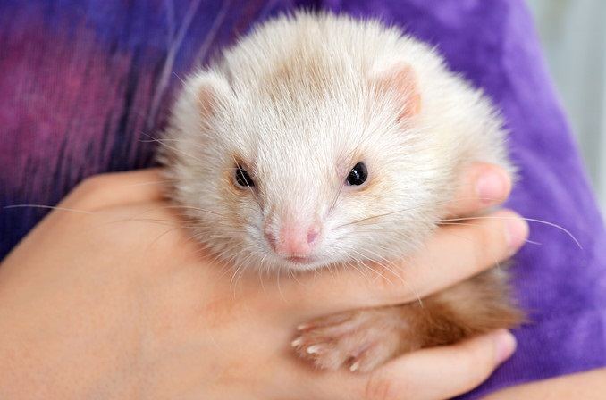 Ferret Veterinarian in Longwood FL